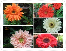 http://pim.in.th/images/pim-nature/flower_Feb2011/gerbera00.jpg