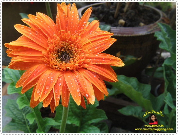 http://pim.in.th/images/pim-nature/flower_Feb2011/gerbera_02.JPG