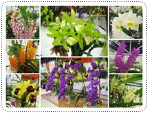 http://pim.in.th/images/pim-nature/siam-nature/1orchid/orchid-small.jpg